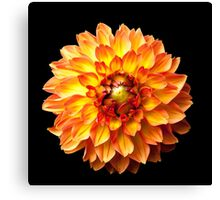 Four Queens Dahlia on black. Canvas Print