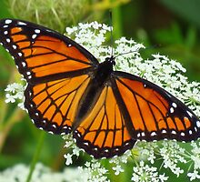 Viceroy Butterfly by lorilee