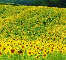 Sunflower Hill  by lorilee
