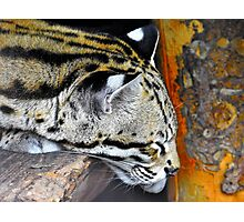 Sleepy ocelot Photographic Print