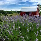 Lavender Fields Forever by Megan Noble