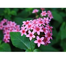 Tiny Pink flowers Photographic Print