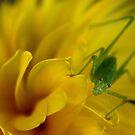 Speckled Bush-Cricket by Alex Boros