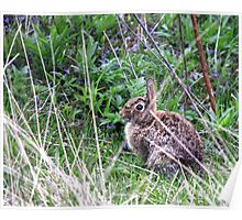 Eastern Cottontail in the Brush Poster