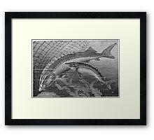 Gator Gar  Framed Print