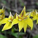 Cow Slip Orchids Busselton W.A. by Coralie Plozza