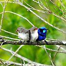Blue Wren Busselton, Western Australia by Coralie Plozza