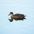 Duck at Mt Martha Balcombe Estuary by susanzentay