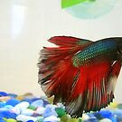 The Many Colors of a Betta by Grinch/R. Pross