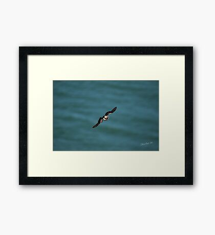 Puffin in Flight Framed Print
