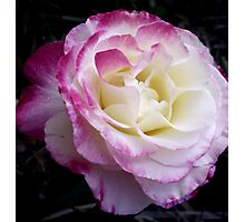 Double Delight Rose Photographic Print