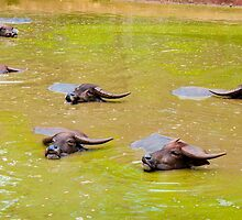 Herd of Thai buffalo cooling in during the day by Stanciuc
