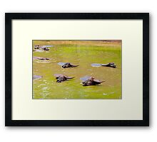 Herd of Thai buffalo cooling in during the day Framed Print