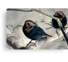 Brown-Headed Cowbird ~ Handsome Pest  Canvas Print