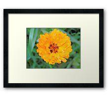 Marigold . Framed Print