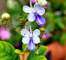 Blue Butterfly Plant by rosaliemcm