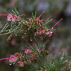 Wet Grevillea Leith Park Victoria 20160605 7088  by Fred Mitchell
