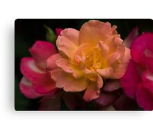 Three Sunset Colored Roses Canvas Print