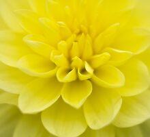 yellow dahlia by ekochanphotos