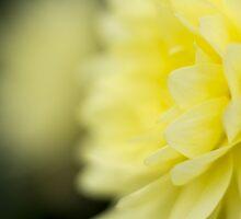 yellow dahlia 2 by ekochanphotos