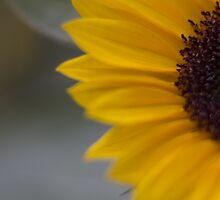 sunflower by ekochanphotos