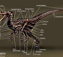 Velociraptor Skeleton Study by Thedragonofdoom