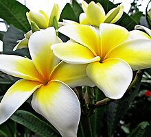 Frangipani  by Ethna Gillespie