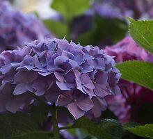 hydrangea by ekochanphotos
