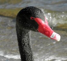 Black Swan with Water Droplets, Canberra, Australia. by kaysharp
