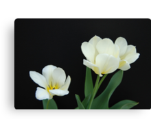 Three White Tulips Canvas Print