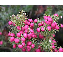 Pink Mountain Berries, Cradle Mountain, Tasmania, Australia. Photographic Print