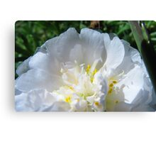 PINK MOSS ROSE Canvas Print