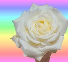 Rainbow and White Rose by Margaret Stevens