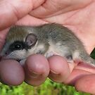 WHAT AM I ? Forest Dormouse (thank you PrairieRose) by Dennis Melling