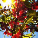 Sunshine Cherries by Karin  Hildebrand Lau