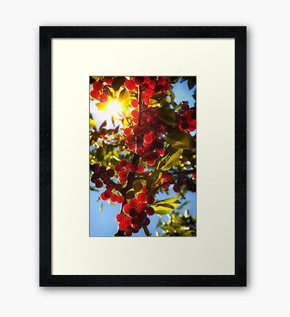 Sunshine Cherries Framed Print