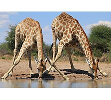 Giraffe - African Wildlife Background - Splitting for Sips Photographic Print