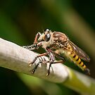 Robber Fly by Briar Richard