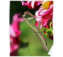 Praying Mantis Eating a Bee Poster