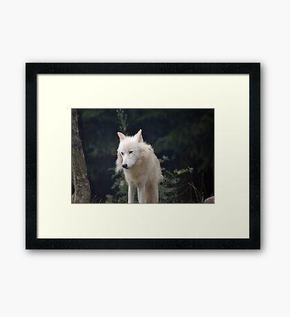 Grand Méchant Loup d'Arctique Framed Print