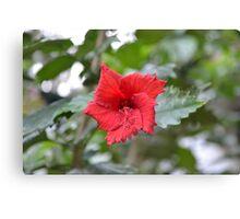 Bright Red Hibiscus  Canvas Print