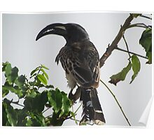Hornbill, Somalia Poster