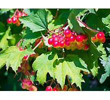 The leaves and unripe berries guelder viburnum opulus Photographic Print