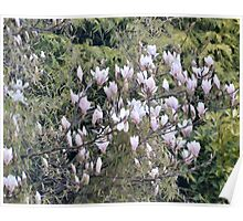 A  Beautiful Magnolia Tree Poster