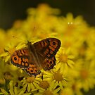 """ Wall Brown Butterfly "" by Richard Couchman"