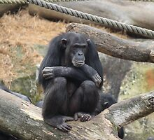 Chimpanzee 1 by jasonkryger