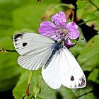 Small White Butterfly by John Thurgood