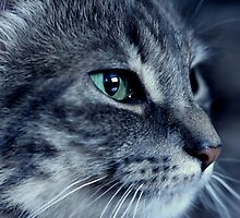 Tabby Cat by ncp-photography