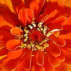 Bright Orange Zinnia by T.J. Martin