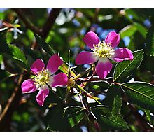 My Wild Rose Photographic Print